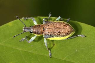 Chlorophanus viridis - Dunkelgrüner Gelbrandrüssler, Käfer auf Blatt (1)