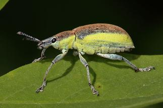 Chlorophanus viridis - Dunkelgrüner Gelbrandrüssler, Käfer auf Blatt (2)
