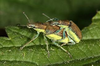 Chlorophanus viridis - Dunkelgrüner Gelbrandrüssler, Paar (1)