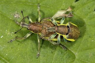 Chlorophanus viridis - Dunkelgrüner Gelbrandkäfer, Paar (2)