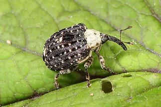 Cionus scrophulariae - Weißschildiger Braunwurzelschaber, Käfer auf Blatt (1)