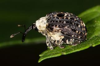 Cionus Scrophulariae - Weißschildiger Braunwurzschaber, Käfer auf Blatt (2)