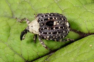 Cionus scrophulariae - Weißschildiger Braunwurzschaber, Käfer auf Blatt (3)