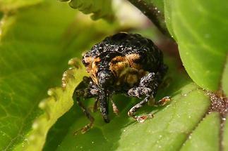 Cionus tuberculosus - Königskerzen-Blattschaber, Käfer auf Blatt (3)