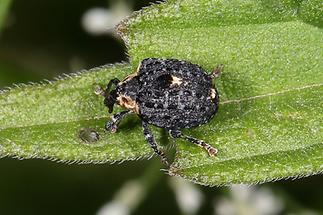 Cionus tuberculosus - Königskerzen-Blattschaber, Käfer auf Blatt (4)