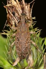 Cleonis pigra - Distelgallenrüssler, Käfer auf Distel
