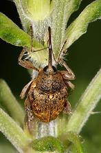 Curculio cf. nucum - Haselnußbohrer, Käfer auf ...