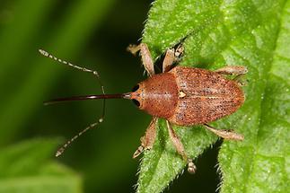 Curculio glandium - Gewöhnlicher Eichelbohrer, Käfer auf Blatt (1)