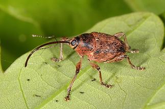 Curculuo glandium - Gewöhnlicher Eichelbohrer, Käfer auf Blatt (3)