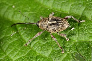 Curculio glandium - Gewöhnlicher Eichelbohrer, Käfer auf Blatt (4)