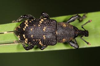Hylobius abietis - Großer Brauner Rüsselkäfer, Käfer auf Gras (1)