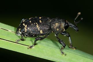 Hylobius abietis - Großer Brauner Rüsselkäfer, Käfer auf Gras (2)
