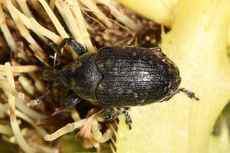 Larinus cf. brevis - kein dt. Name bekannt, Käfer auf ...