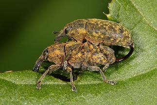 Larinus sturnus - Großer Distelrüssler, Käfer Paar (1)