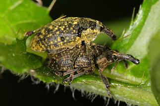 Larinus sturnus - Großer Distelrüssler, Käfer Paar (2)