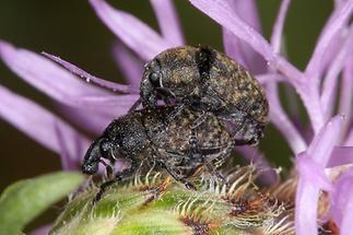 Larinus sturnus - Großer Distelrüssler, Käfer Paar (3)