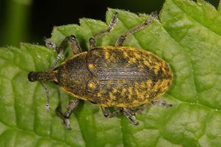 Larinus sturnus - Großer Distelrüssler, Käfer auf Blatt