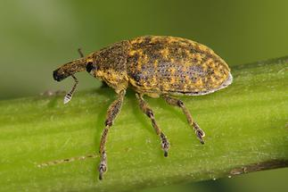 Larinus sturnus - Großer Distelrüssler, Käfer auf Halm