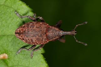 Lepyrus armatus - Wehrhafter Wurzelrüssler, Käfer auf Blatt (1)