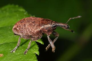 Lepyrus armatus - Wehrhafter Wurzelrüssler, Käfer auf Blatt (2)