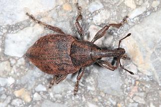 Lepyrus armatus - Wehrhafter Wurzelrüssler, Käfer auf Weg (1)