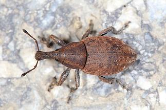 Lepyrus armatus - Wehrhafter Wurzelrüssler, Käfer auf Weg (2)