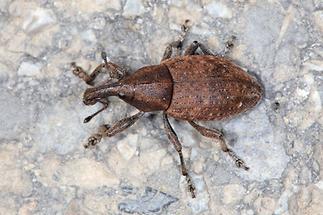 Lepyrus armatus - Wehrhafter Wurzelrüssler, Käfer auf Weg (3)