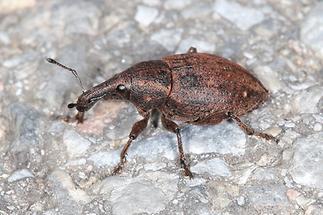 Lepyrus armatus - Wehrhafter Wurzelrüssler, Käfer auf Weg (4)