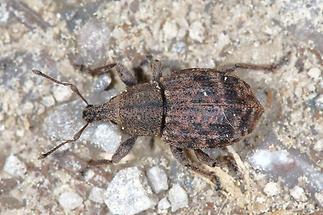 Liophloeus tessulatus - Würfelfleckiger Staubrüssler, Käfer auf Fahrweg (1)