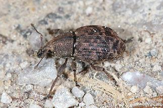 Liophloeus tessulatus - Würfelfleckiger Staubrüssler, Käfer auf Fahrweg (2)