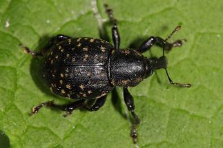 Liparus germanus - Deutscher Trägrüssler, Käfer auf Blatt (1)