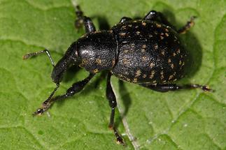 Liparus germanus - Deutscher Trägrüssler, Käfer auf Blatt (2)