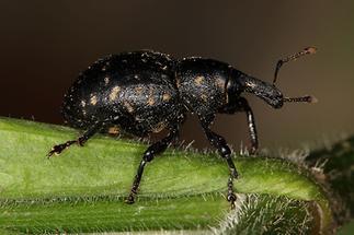 Liparus glabrirostris - Pestwurzrüssler, Käfer auf Blatt (1)