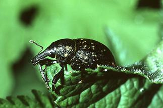 Liparus glabrirostris - Pestwurzrüssler, Käfer auf Blatt (2)