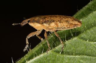 Lixus cf. myagri - kein dt. Name bekannt, Käfer auf Blatt