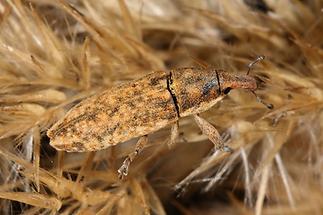 Lixus cf. myagri - kein dt. Name bekannt, Käfer auf Getreidehalm