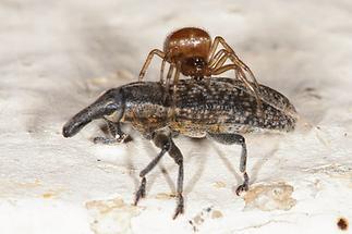 Lixus cf. vilis - kein dt. Name bekannt, Käfer mit Spinne