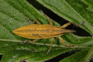 Lixus iridis - Schierlingsrüssler, Käfer auf Blatt (1)