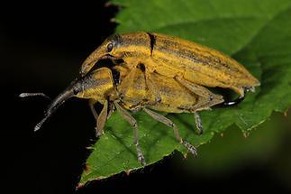 Lixus iridis - Schierlingsrüssler, Paar (1)