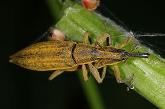 Lixus iridis - Schierlingsrüssler, Paar (2)