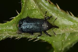 Magdalis cf. frontalis - Blauer Markröhrenrüssler, Käfer auf Blatt