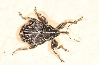 Mogulones geographicus - Landkarten-Rauhblattrüssler, Käfer an Mauer