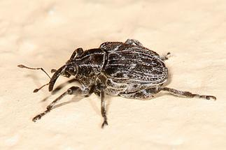 Mogulones geographicus - Landkarten-Rauhblattrüssler, Käfer auf Mauer