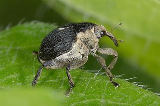 Mononychus punctumalbum - Weißpunktiger Schwertlinienrüssler, Käfer auf Blatt (2)