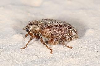 Orchestes quercus - Eichenspringrüssler, Käfer auf Klostermauer