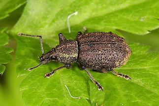 Otiorhynchus cf. austriacus - Österreichischer Dickmaulrüssler, Käfer auf Blatt (1)