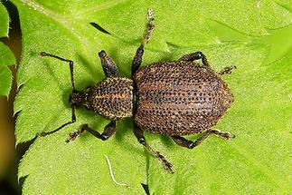Otiorhynchus cf. austriacus - Österreichischer Dickmaulrüssler, Käfer auf Blatt (2)