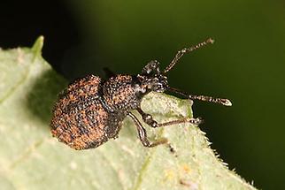 Otiorhynchus austriacus - Österreichischer Dickmaulrüssler, Käfer auf Blatt (3)