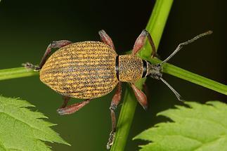 Otiorhynchus cf. armadillo - kein dt. Name bekannt, Käfer auf Blatt