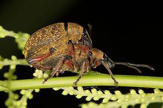 Otiorhynchus cf. armadillo - Gürteltier-Dickmaulrüssler, Paar